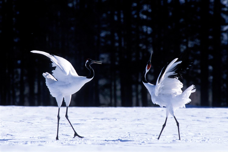 タンチョウ(特別天然記念物)の舞