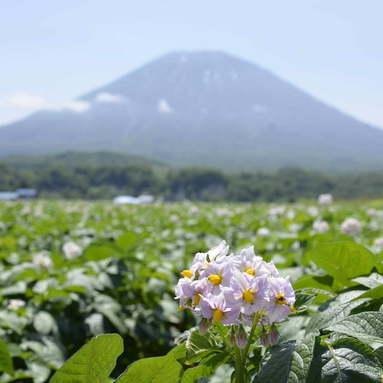 羊蹄山とイモの花