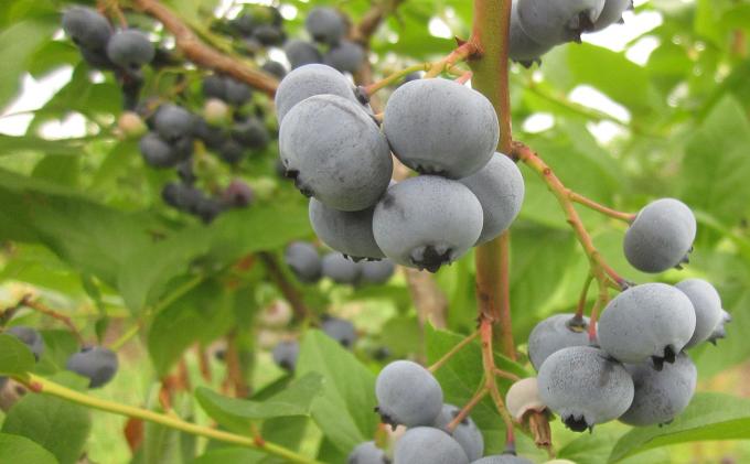 農園摘みブルーベリーと自家製ジャムセット(北海道仁木町産)