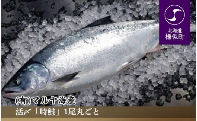 【活〆】「時鮭」1尾丸ごと【2021年5月より発送】