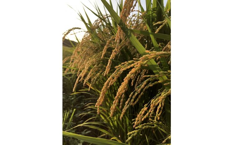 【新米受付】ND4018 村上市桃川産 岩船米食べ比べセット3回お届けコース