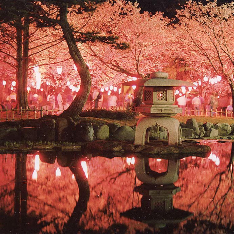 芦城公園 夜桜