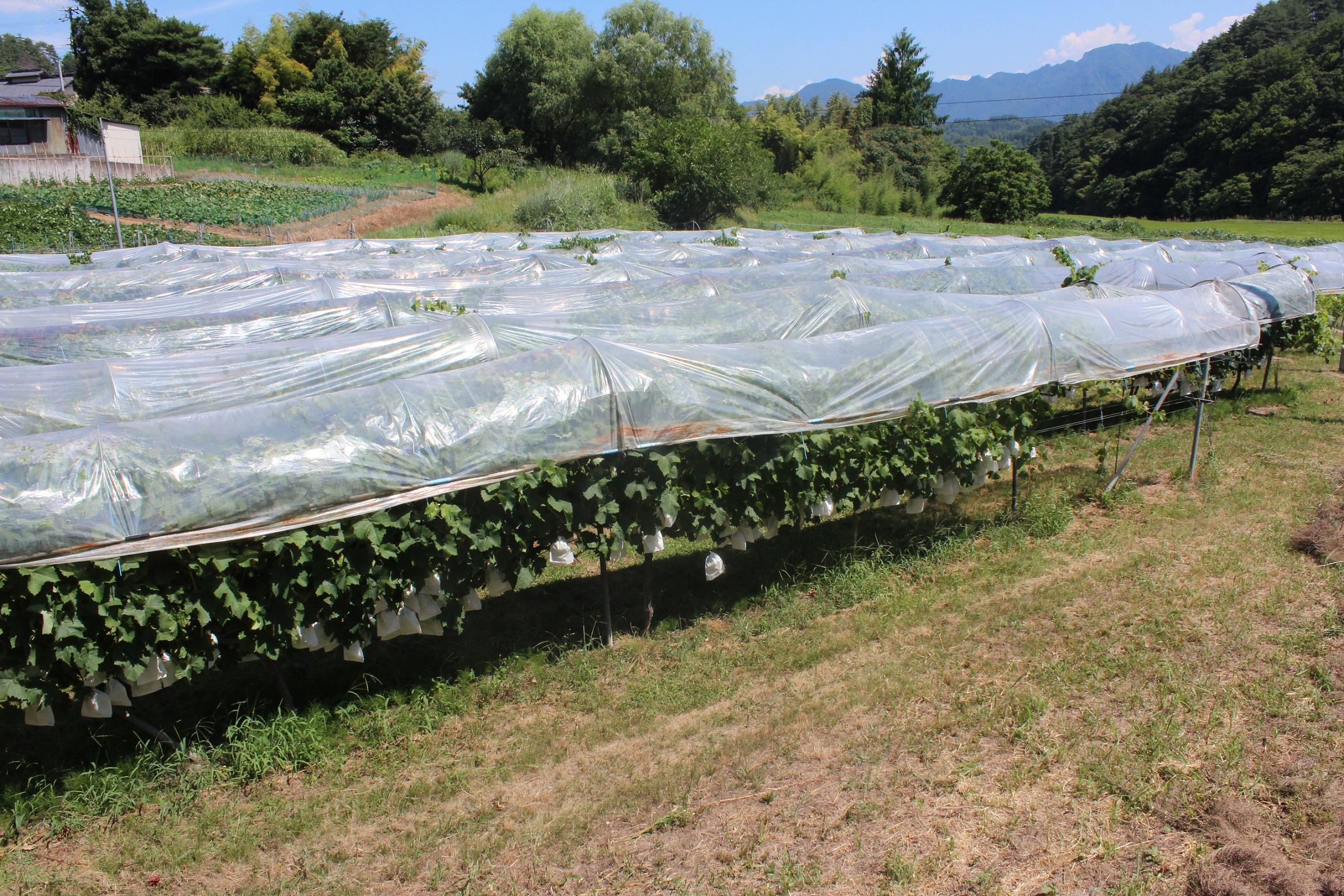 長野県青木村産ロザリオビアンコ(種あり)1箱(2kg)