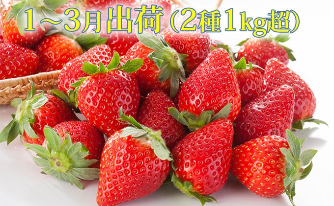 【1月~3月発送】旬真っただ中 濃厚でフレッシュ 2種1kg超 産地直送フレッシュいちご