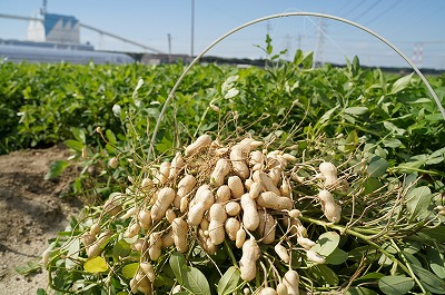 生落花生 さとのか 2kg 高鮮度保持フィルム使用 耕地の美味しい野菜シリーズ第5弾 H132-008