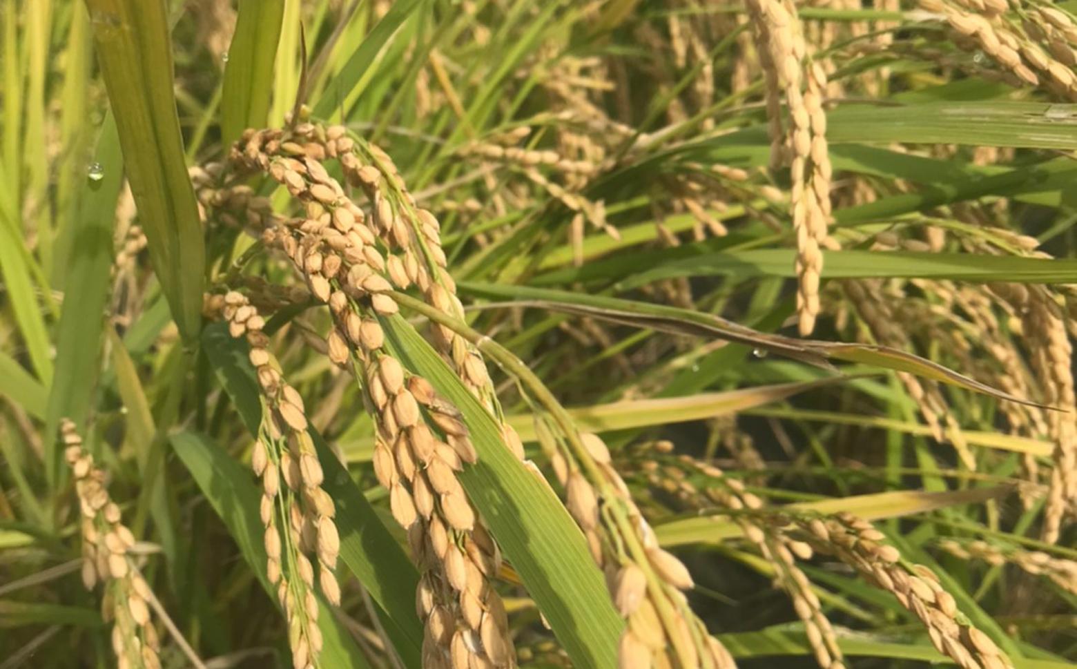 M-JAD1.【12ヵ月定期便】吟農園のお米「ひのひかり」5㎏×12回