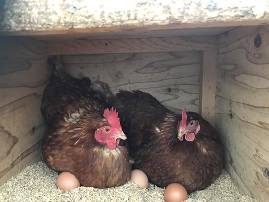 (冷蔵)美味しい 平飼い 飛鳥の卵 80個/古都 風雅ファーム 鶏卵 たまご 玉子 奈良県 宇陀市