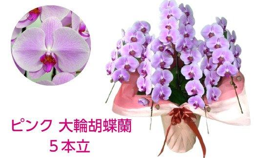 507.ピンクの大輪胡蝶蘭5本立(約50輪)