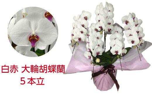 505.白赤の大輪胡蝶蘭5本立(約50輪)