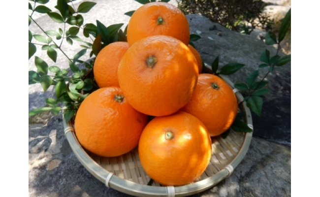 ZW6013_清見オレンジ 約5kg(ご家庭用サイズおまかせ)