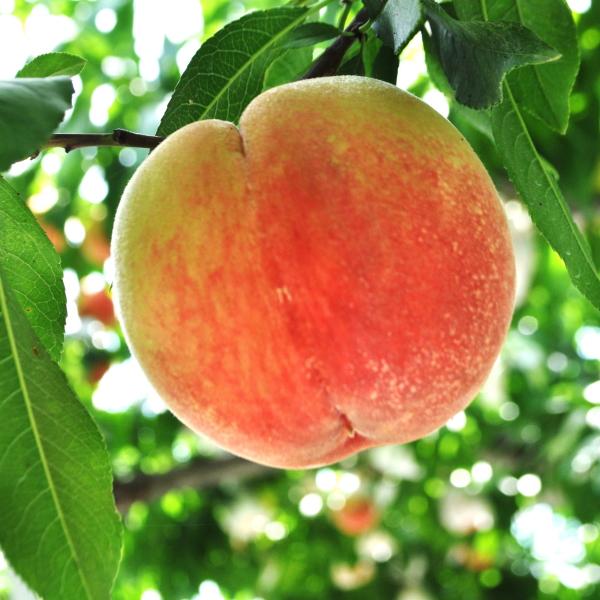 AB6081_【夏の美味】フルーツ王国 和歌山の桃 約2㎏
