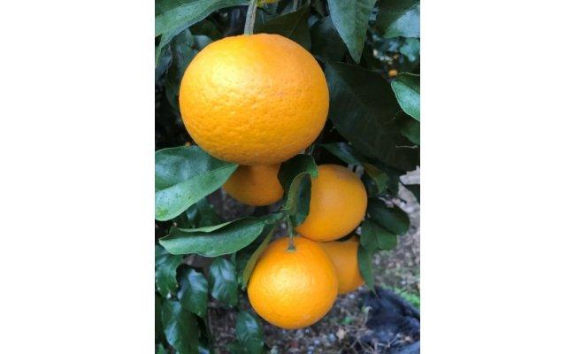 AE6012_黒潮が育てた【清見オレンジ】サイズ混合(S~LL) 約5㎏