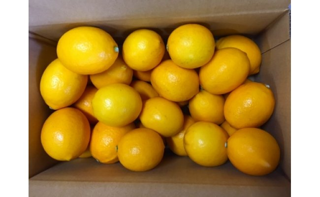 ZE6150_檸檬(レモン)苗木2年生2本セット