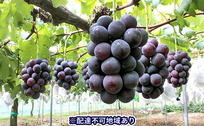 ご家庭用 岡山県産 ニューピオーネ 2~3房(約1.2kg)【配達不可:離島】