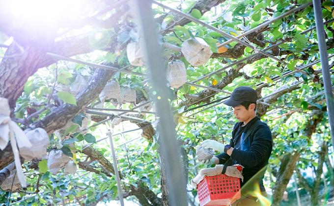 石原果樹園 あたご梨・鴨梨(ヤ—リー)詰合せ 合計約4kg オリジナル化粧箱