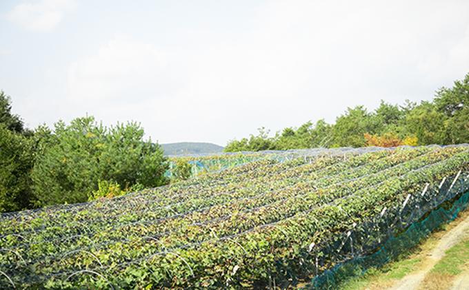 黒川農園 シャインマスカット 2房(1房800g以上)