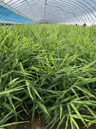 【AF-26】季節限定「新」生姜(3kg):農家直送