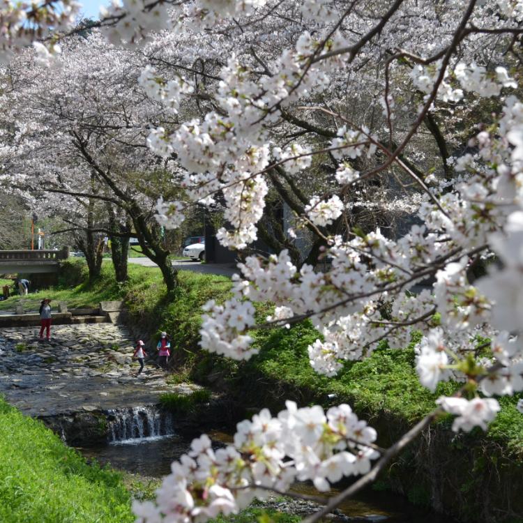 清滝の桜並木