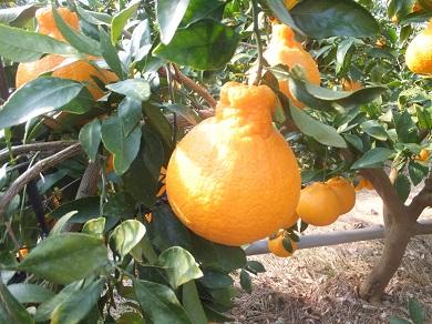 【先行受付】あまおう(苺)と旬の柑橘詰め合わせセットボリュームパック(2021年2月~3月発送)