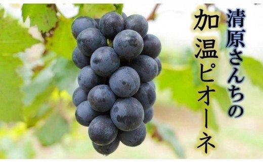 【予約受付開始】清原さんちの加温ピオーネ(2kg)