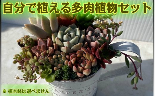 自分で植える多肉植物セット