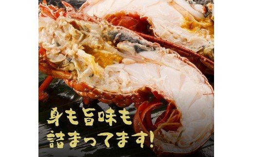 漁協直送!日向灘獲れ伊勢海老2kg(5~8尾)