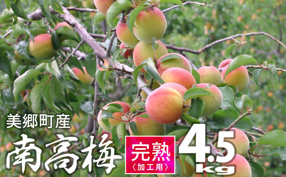 美郷町産「南高梅」 完熟梅 A品 4.5kg<期間限定>