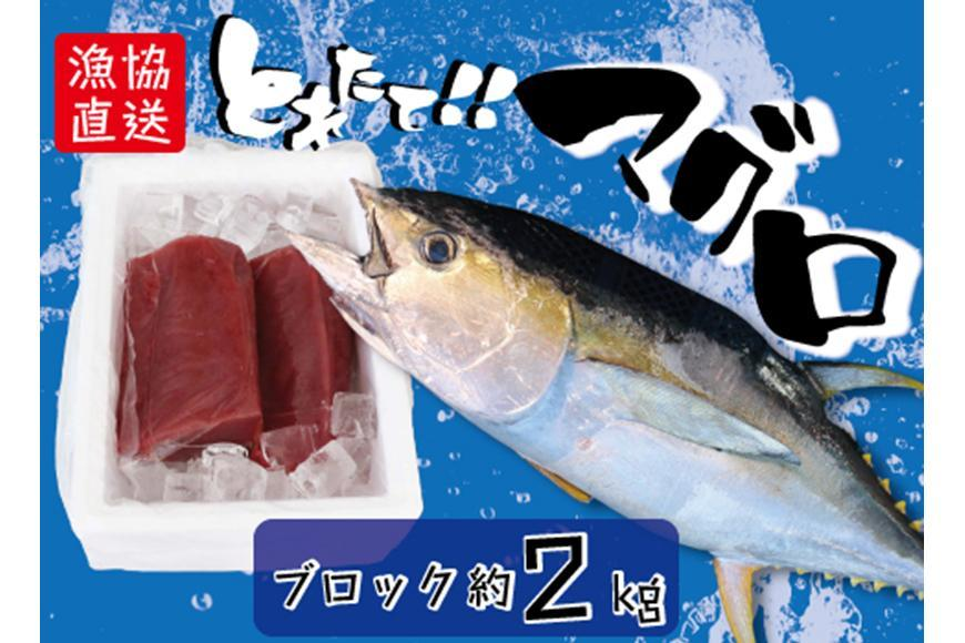 宮古島直送!獲れたて新鮮マグロ (ブロック2kg以上)
