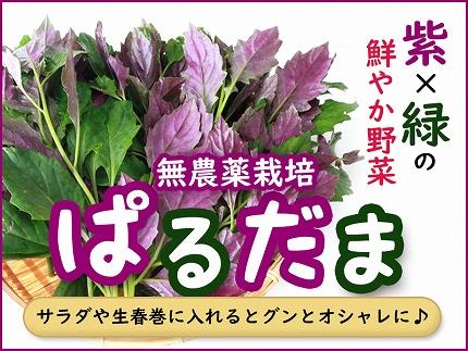 紫&グリーンが綺麗な野菜 ぱるだま 1kg(はんだま・水前寺菜)