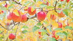 今年もリンゴの季節がやってきた!